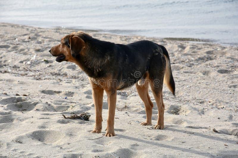 在一个海滩的大黑流浪狗在希腊 免版税库存图片