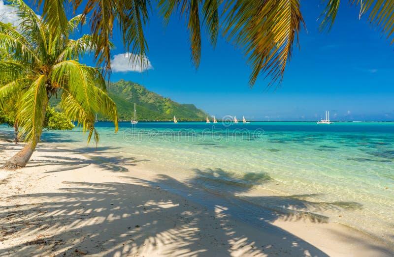 在一个海滩的椰子树在Moorea 库存图片