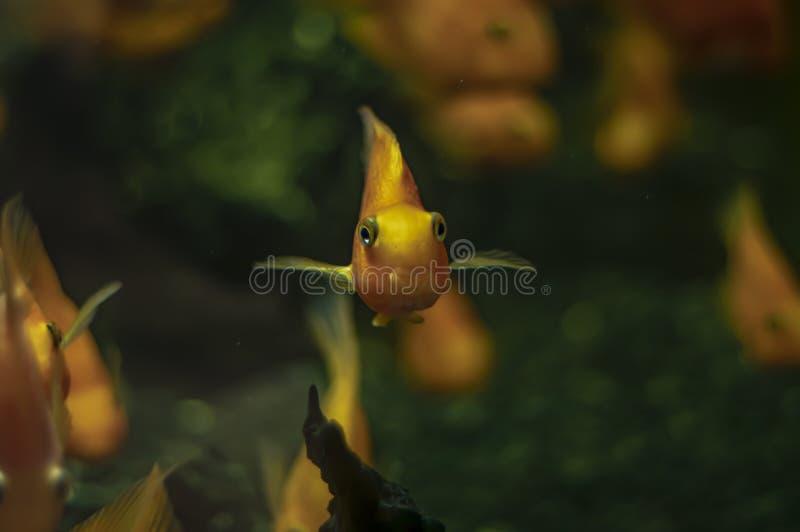 在一个淡水水族馆的金鱼有美丽的绿色热带海藻的 图库摄影