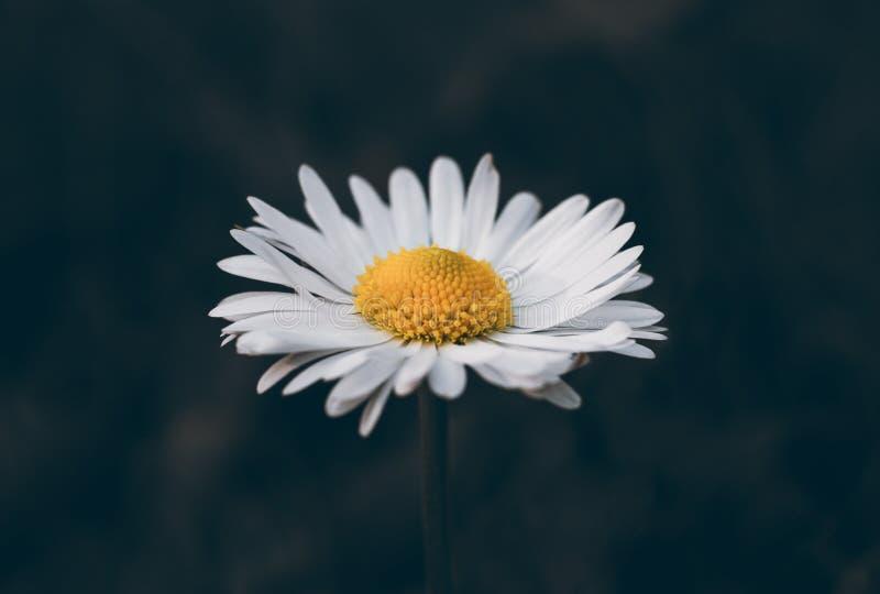 在一个深绿背景特写镜头的雏菊 与白色瓣和黄色中部的延命菊 特写镜头,侧视图 庭园花木 免版税库存照片