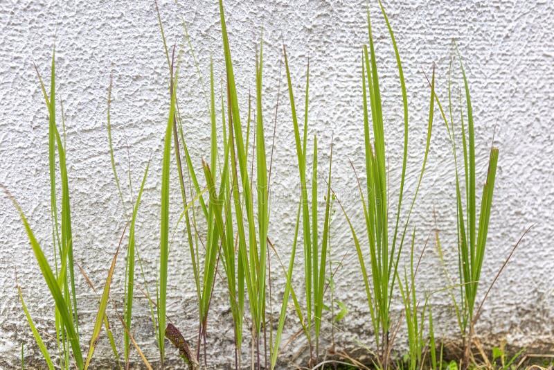 在一个混凝土墙的背景的绿草 希望新芽  r ?? r 库存照片