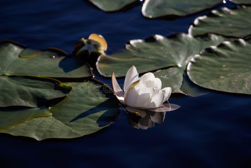 在一个湖的美丽的白百合月光的 免版税库存照片