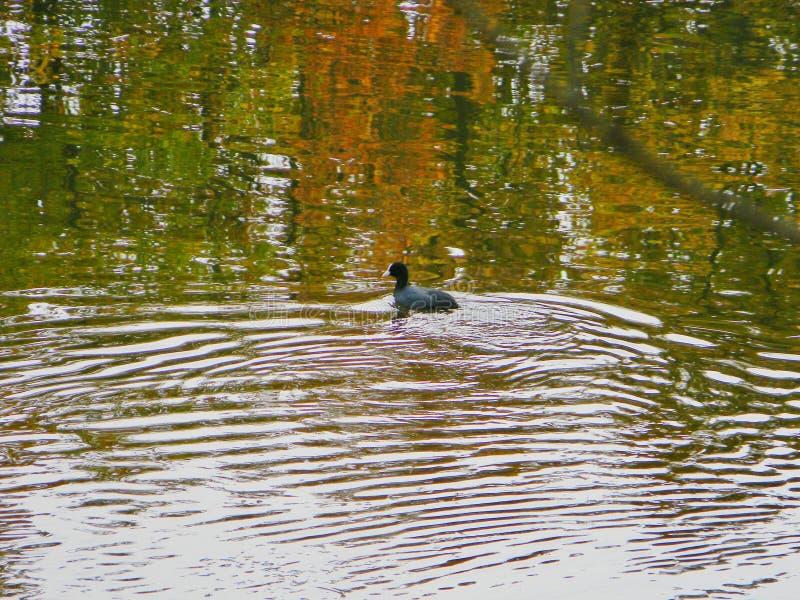 在一个湖的鸭子游泳在地拉纳,阿尔巴尼亚附近 免版税库存照片