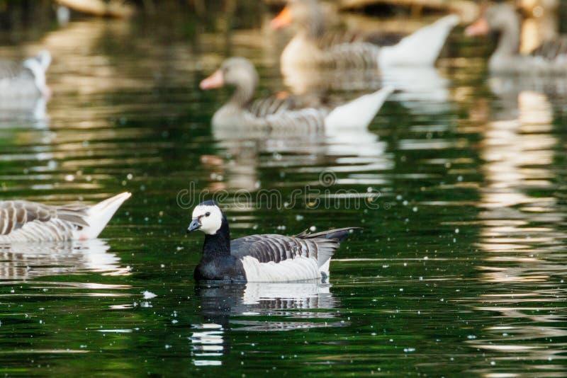 在一个湖的黑雁游泳在graylag鹅中群在晚上 免版税库存图片