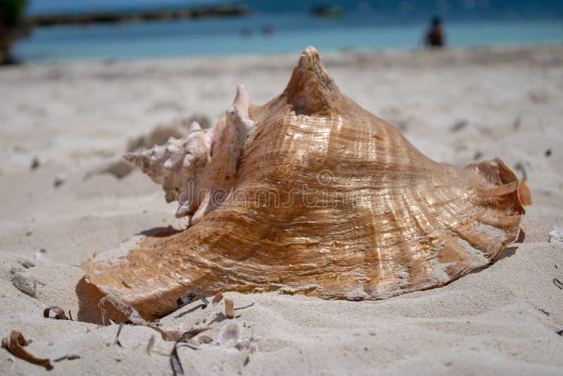 在一个热带海滩的大壳 图库摄影