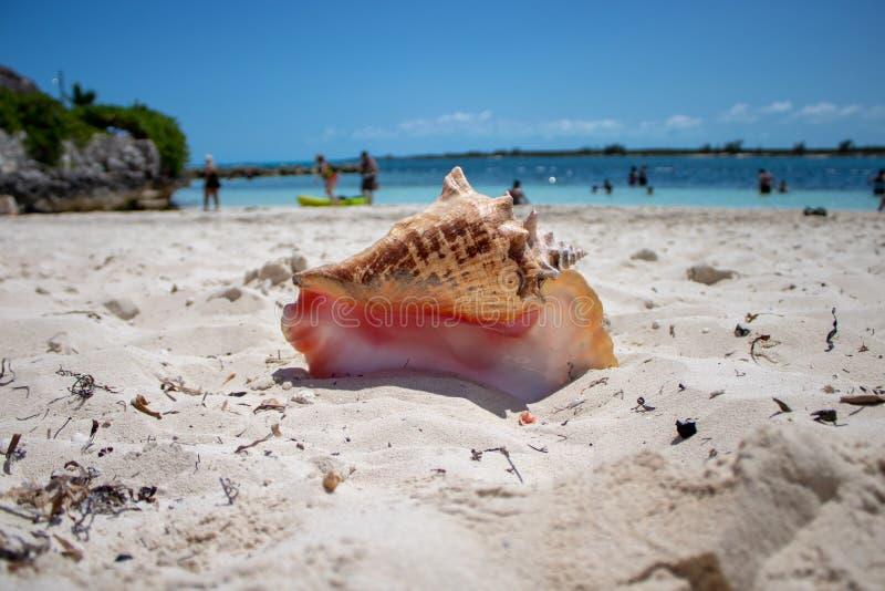 在一个热带海滩的大壳 库存照片