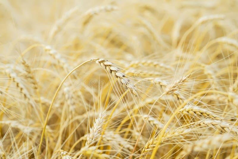 在一个热的夏天下午的一个高高成熟全五谷谷物特写镜头反对一个黄色黑麦领域 金黄领域的成熟 库存图片