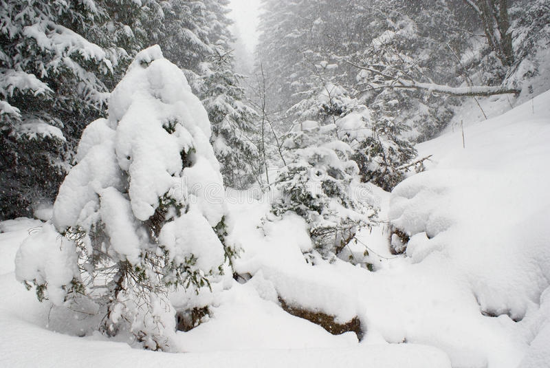 在一个狂放的密集的具球果森林,用雪盖的一棵小杉树里使降雪环境美化 免版税库存照片