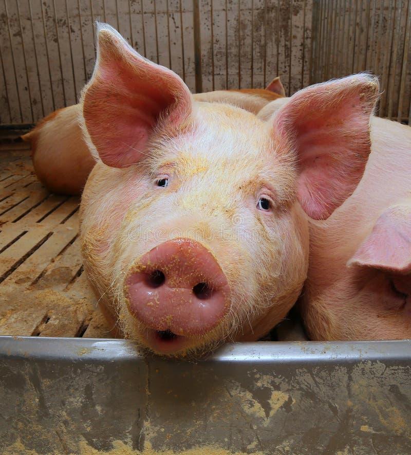在一个猪圈的肥胖猪在农场 库存图片