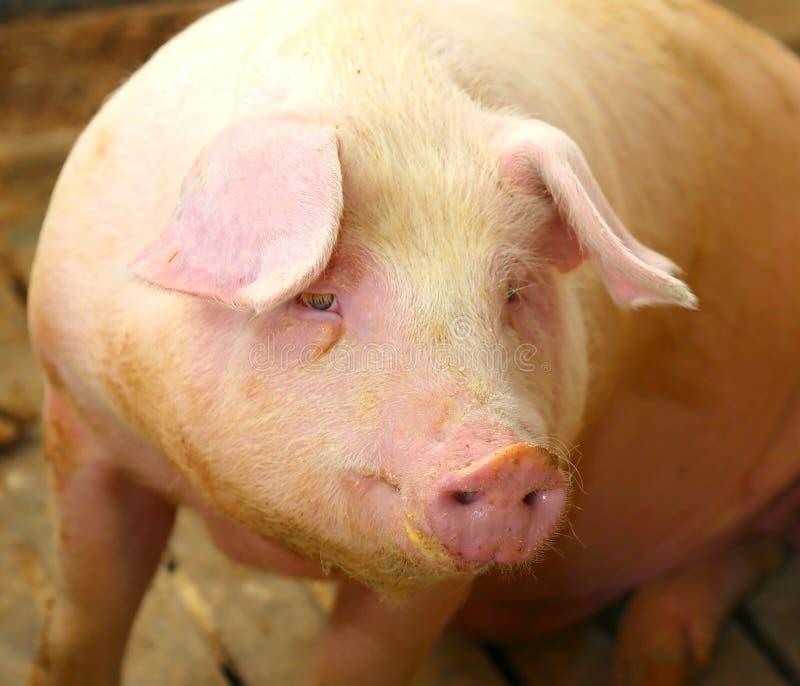 在一个猪圈的肥胖猪在农场 免版税库存图片