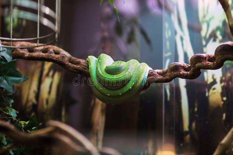 在一个玻璃容器的翠青蛇在动物园 免版税库存照片