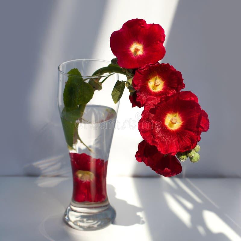 在一个玻璃花瓶的红色冬葵花分支,在白色背景关闭的花束用在阳光的水和阴影 库存照片