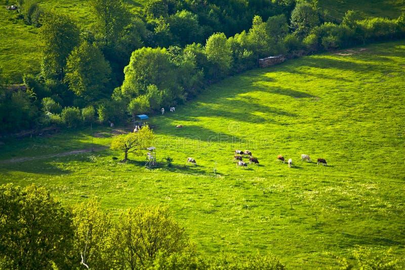 在一个田园诗山牧场地的母牛在巴伐利亚 库存图片