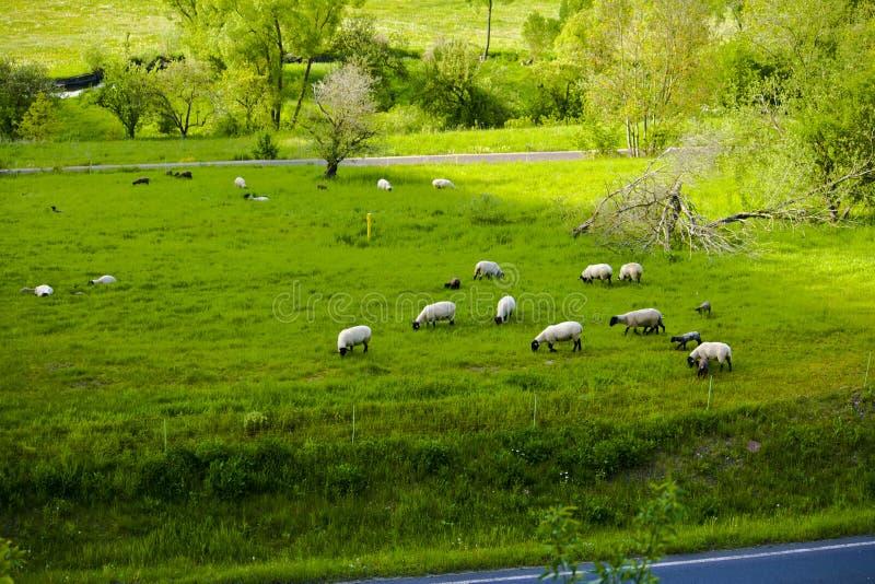 在一个田园诗山牧场地的绵羊在巴伐利亚 库存图片