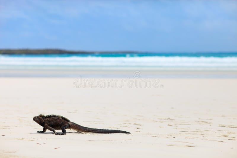 在一个白色沙子海滩的海产鬣蜥蜴 免版税库存照片