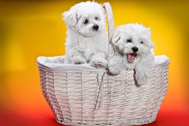 在一个白色篮子的白色小狗 免版税库存图片