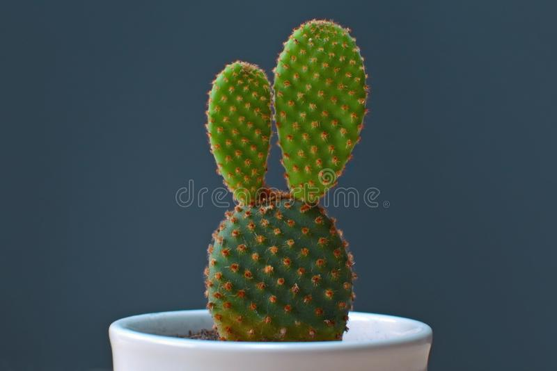 在一个白色罐的小仙人掌microdasys兔宝宝耳朵仙人掌在黑暗的背景前面 库存照片