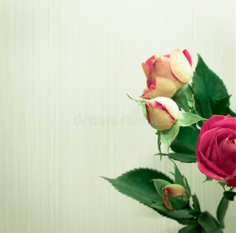 在一个白色背景特写镜头的美丽的玫瑰花束 播种图象 库存图片