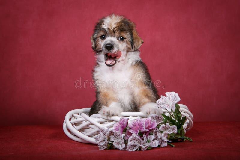 在一个白色花圈的中国有顶饰狗小狗与花 库存照片