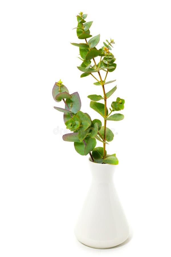 在一个白色花瓶的新鲜的玉树在文本的一个白色背景自由空间 库存图片