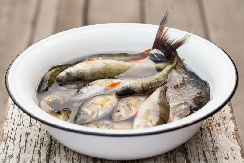 在一个白色水池的河鱼用水 库存图片