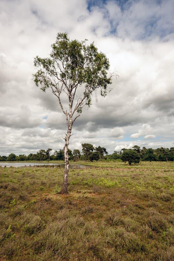 在一个石南花领域的高和稀薄的桦树在一个小湖旁边 库存图片