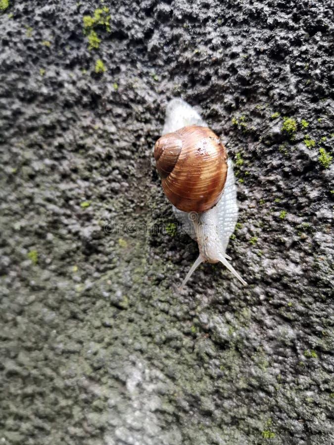 在一个石墙上的蜗牛 免版税图库摄影