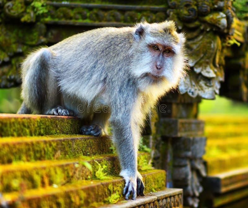 在一个石寺庙的猴子。巴厘岛,印度尼西亚 免版税库存图片