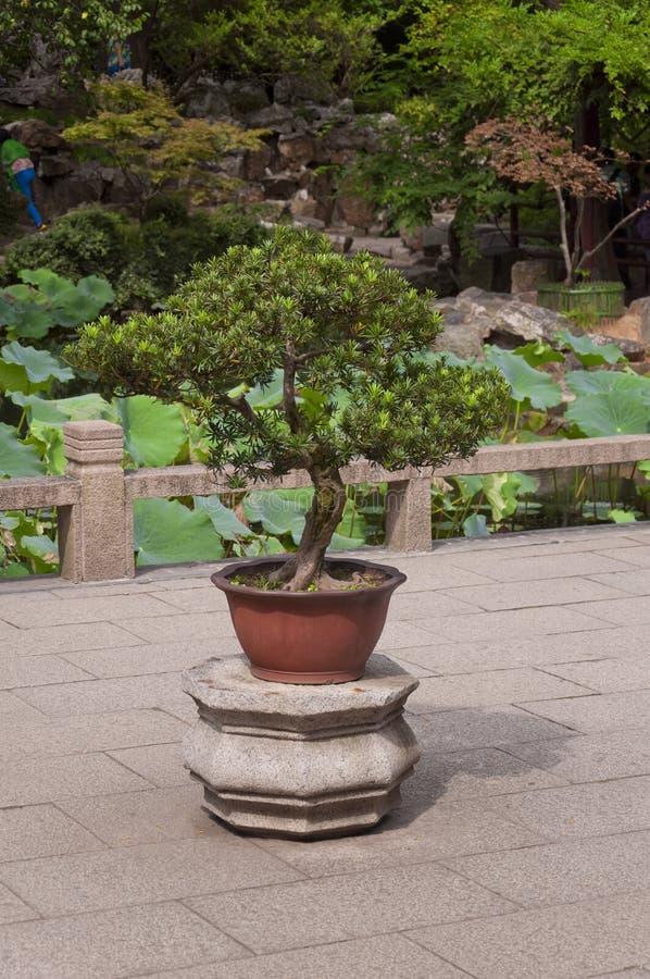 在一个石立场的盆景树 免版税库存图片