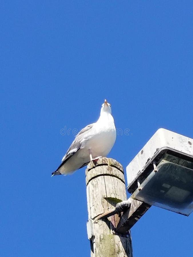 在一个码头的海鸥在太平洋的加利福尼亚 免版税库存图片