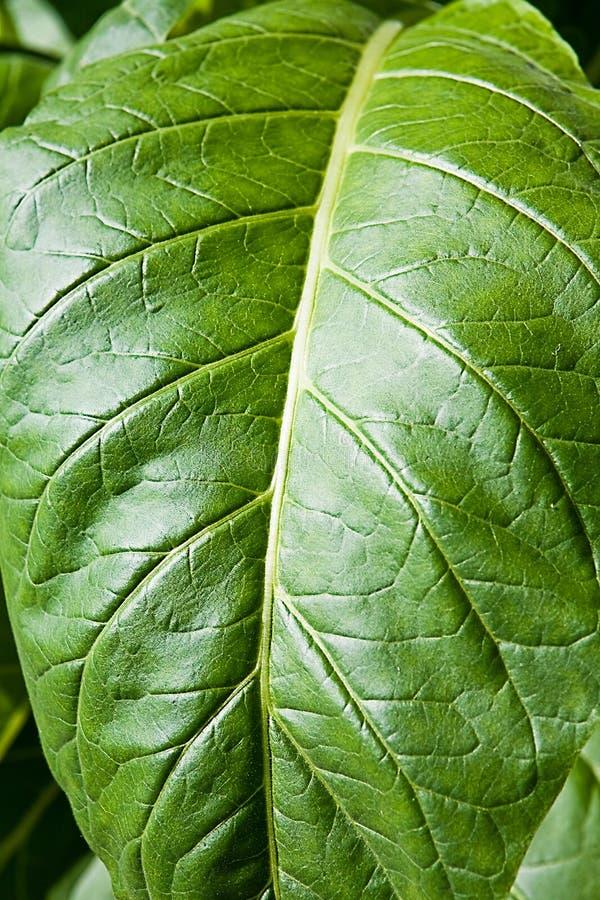 在一个种植园的烟草叶子西班牙的 免版税库存照片