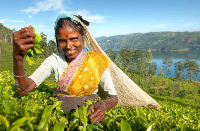 在一个种植园的茶捡取器在斯里兰卡 库存图片