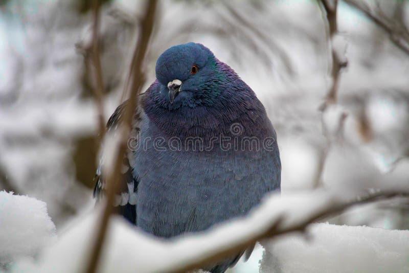 在一个积雪的分支的一只蓝色鸠在冬天 她转动了她的头并且看照相机 照相机摆在 免版税库存照片