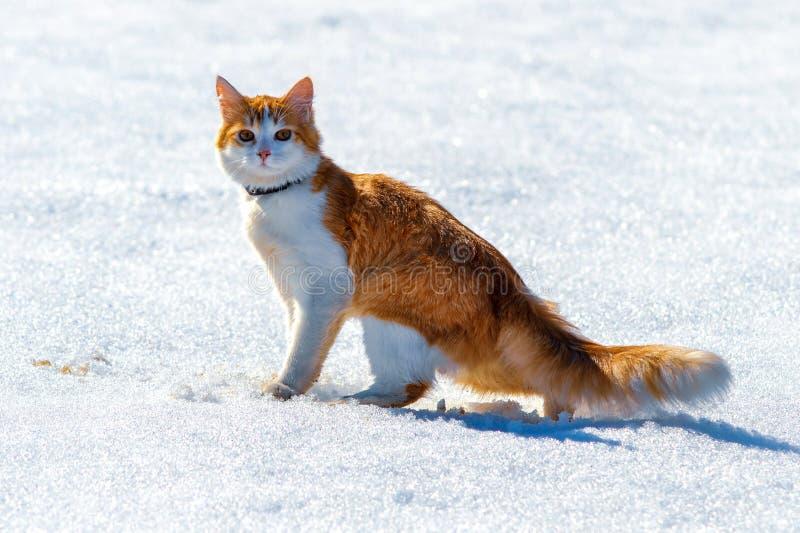 在一个积雪的领域的红色猫 免版税库存照片