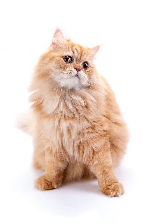 在一个空白背景的波斯猫 库存图片