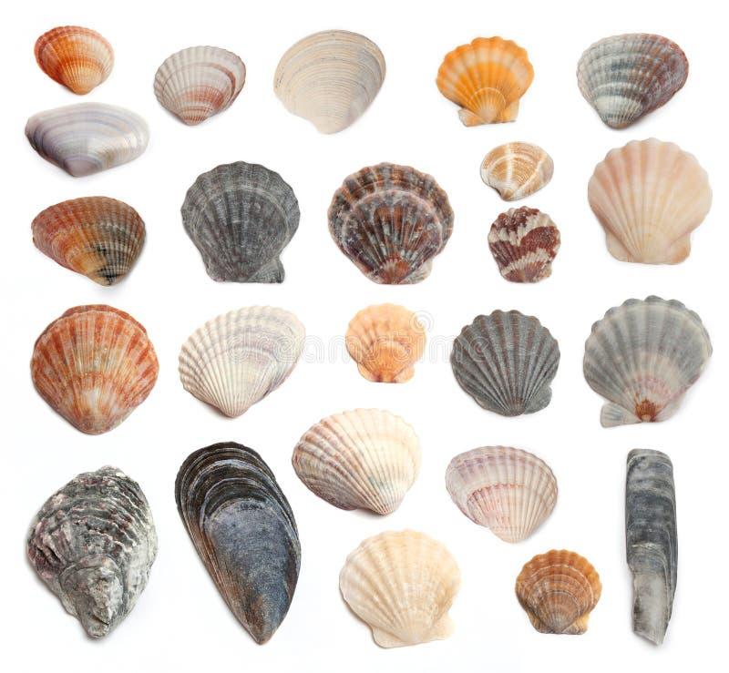 在一个空白背景的海扇壳 图库摄影