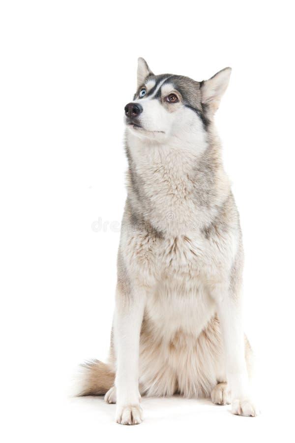 在一个空白背景的狗。 免版税库存图片
