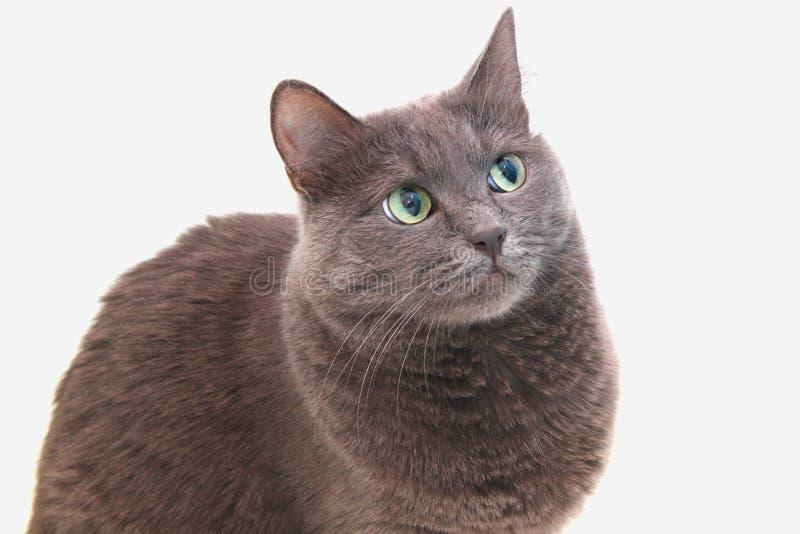 在一个空白背景的猫 库存图片