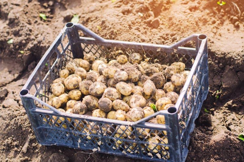 在一个箱子的新鲜的年轻黄色土豆在领域特写镜头,农业,种田,季节工作,菜,环境frien 免版税图库摄影