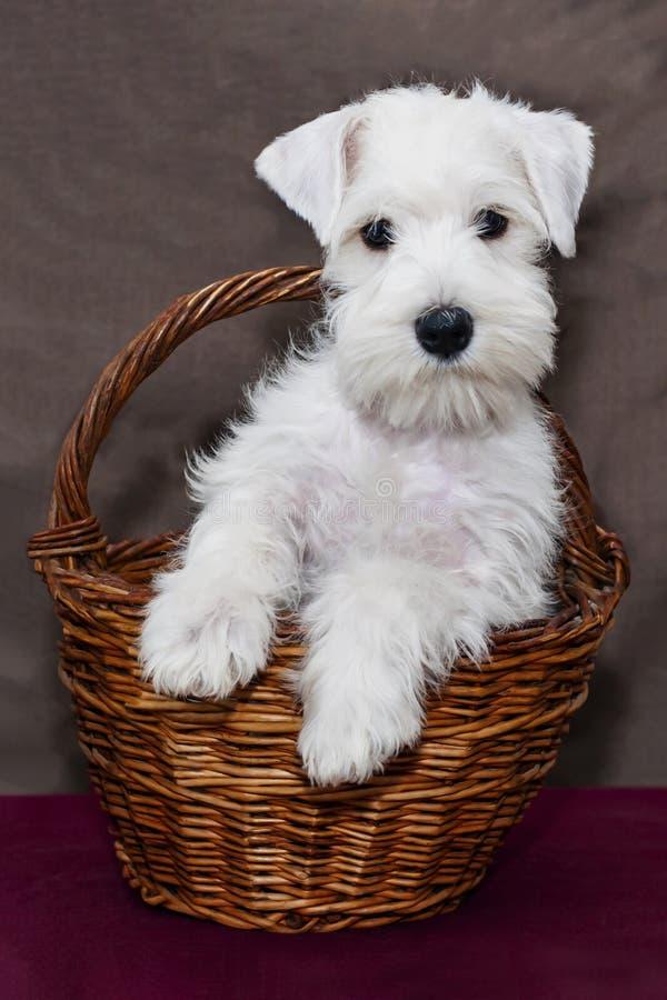 在一个篮子的白色小狗在棕色背景 坐在一个柳条筐的小髯狗小狗 免版税图库摄影