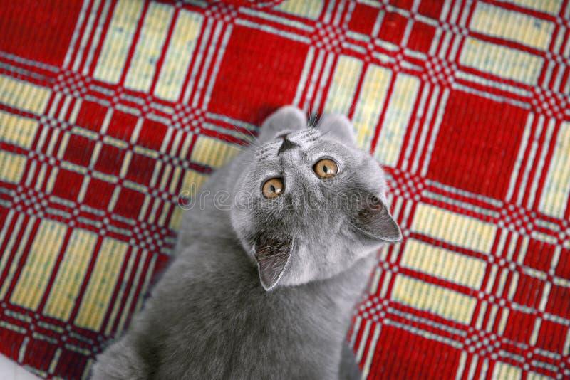 在一个红色地毯的英国Shorthair 库存照片