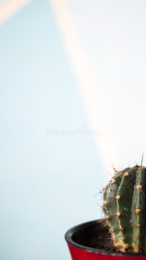 在一个红色花盆的仙人掌有水滴的在白色蓝色背景的 图库摄影
