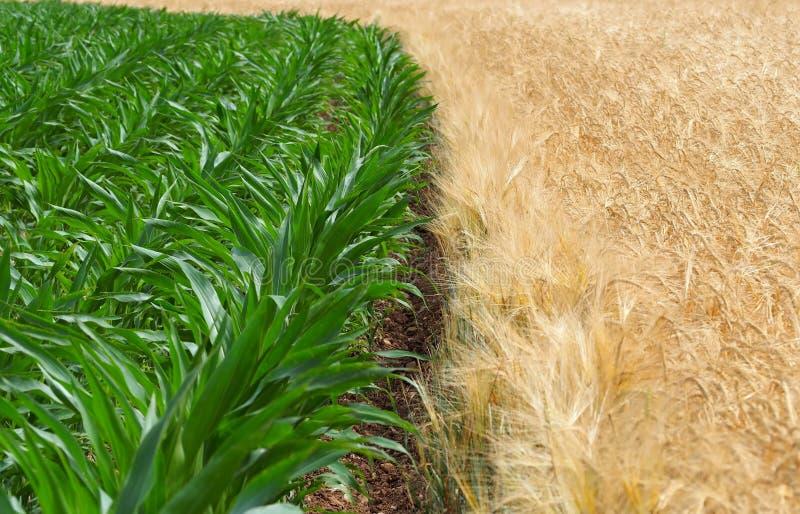 在一个绿色玉米领域和一块金黄麦田之间的界限在春天结束时 图库摄影