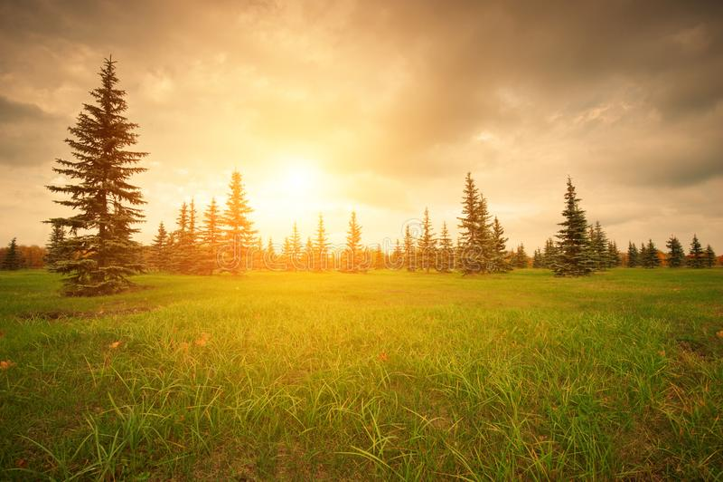 在一个绿色草甸的冷杉日落的 库存照片