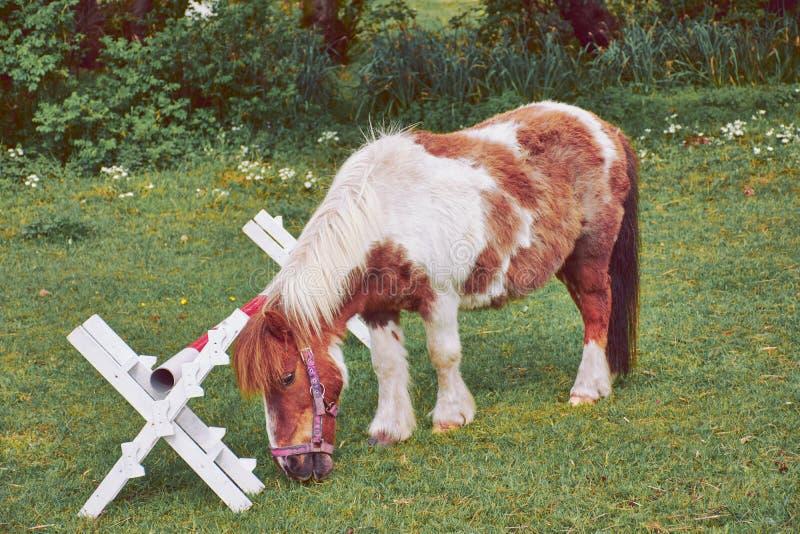 在一个绿色草甸的小小马 免版税库存照片