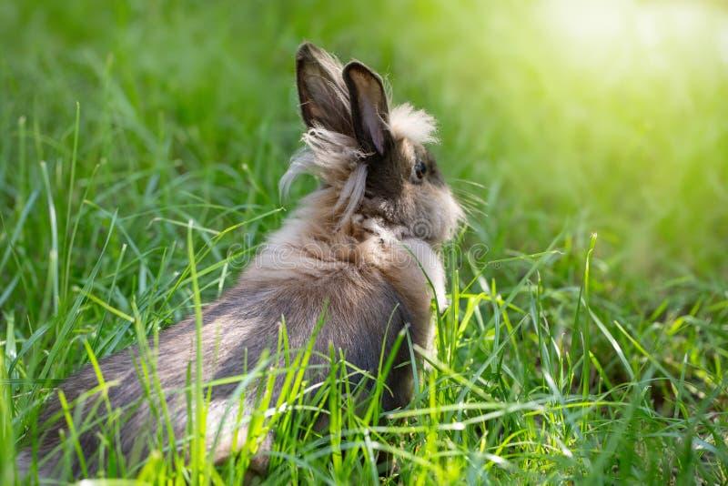 在一个绿色草甸的布朗兔子 在草的逗人喜爱的毛茸的动物 明媚的阳光 图库摄影
