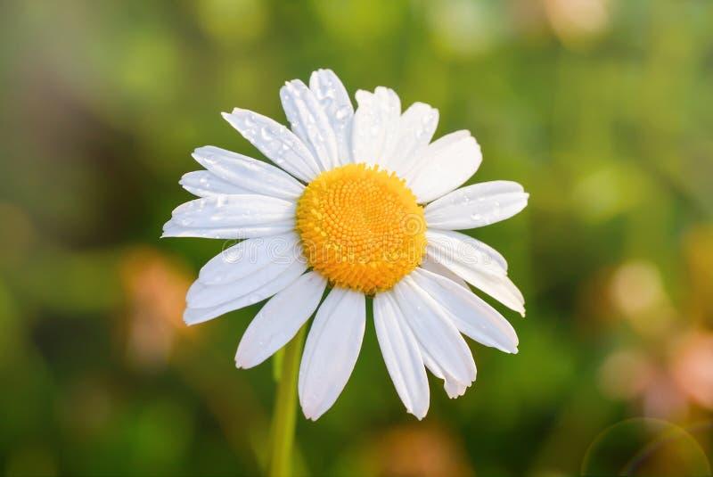 在一个绿色草甸的美丽的开花的延命菊日出的 与露水水下落的雏菊花 库存图片