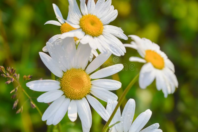 在一个绿色草甸的美丽的开花的延命菊日出的 雏菊在与露水水下落的绿草开花 免版税库存图片