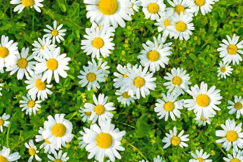 在一个绿色草甸的美丽的开花的延命菊日出的 免版税库存图片