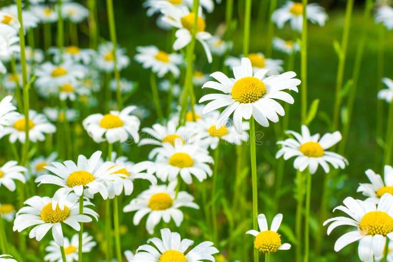 在一个绿色草甸的美丽的开花的延命菊日出的 库存照片